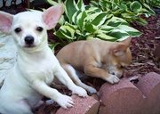 wonderful chihuahua puppies for sale