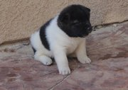 Stunning show quality Akita puppies