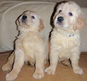 High Quality Golden Retriever Puppies for sale. Please call us 269-20
