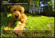 Mini Labradoodle Puppies | Labradoodle Puppies for Sale