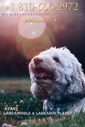 Medium Labradoodle Puppies for Sale - Ayanlabradoodleplanet