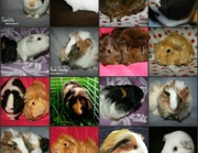 Are You Looking For Guinea Pig Cages For Your New Pets?