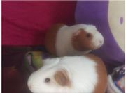 Are You Finding Guinea Pig Breeders to Talk About Everything