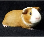 Finding The Right Accessories To Keep Guinea Pigs Comfortable