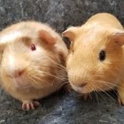 Do You Need Guinea Pigs?