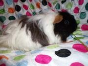 Are You looking Best Guinea Pig Breeders Online