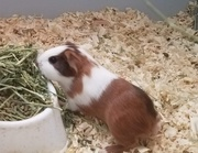 Are You Finding Guinea Pigs For Sale And Accessories