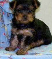 yorkie puppy for lovely home and iot is vet checker and kc register