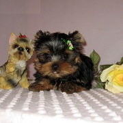 cute Yorkie Puppies ready to go